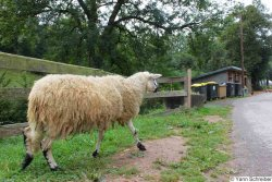 A sheep encountered at the 2012 Weekend d'Intégration (photo: Yann Schreiber)